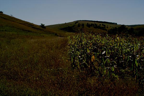 În vale - lanul de porumb -- pe deal, în pădure - mistreții