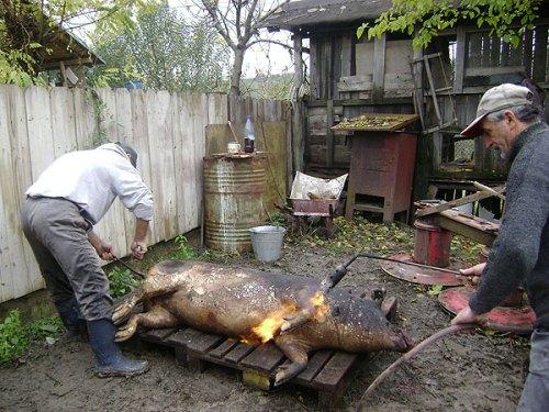 Sacrificarea porcului - tradiție ce încă se păstrează la Bălăbănești