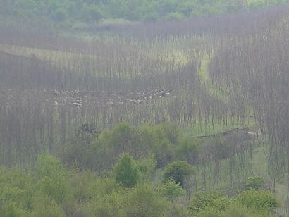 Cu caprele și oile la păscut ..prin pădurea de salcâmi!